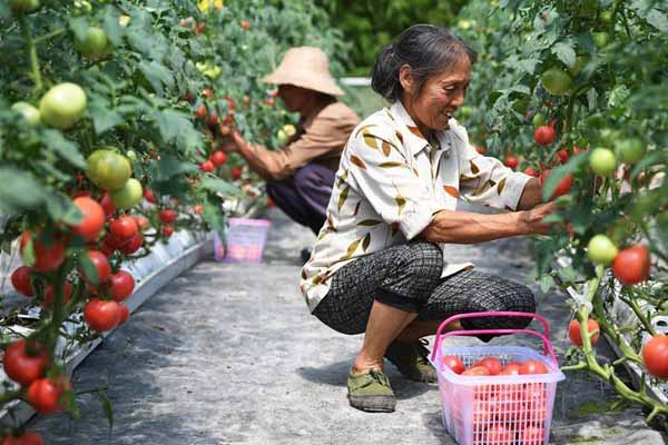 无土栽培的西红柿熟了