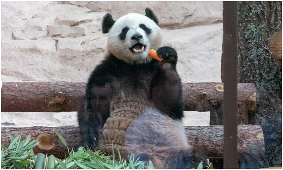 俄罗斯动物园为中国大熊猫开直播:即使打盹儿也不影响观众兴趣