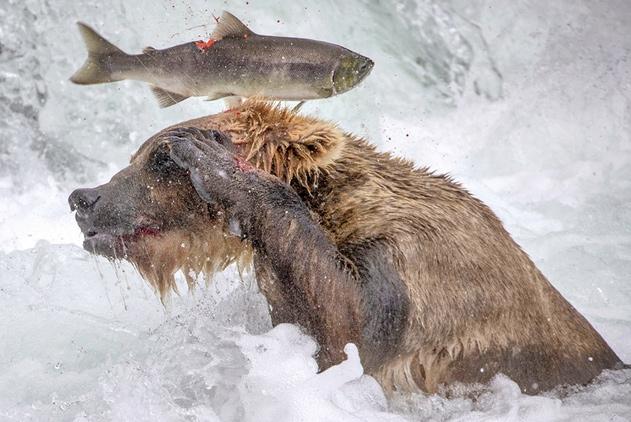 蠢萌!灰熊因为鱼身体太滑叼不住到嘴的食物