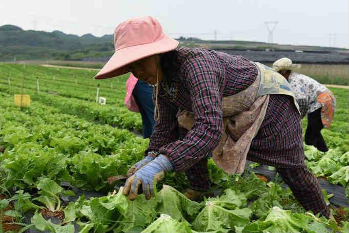贵州平坝:生态蔬菜喜丰收