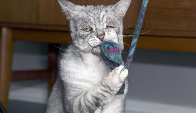 """好丧!英国猫咪患""""松皮症""""面部下垂满面愁容"""
