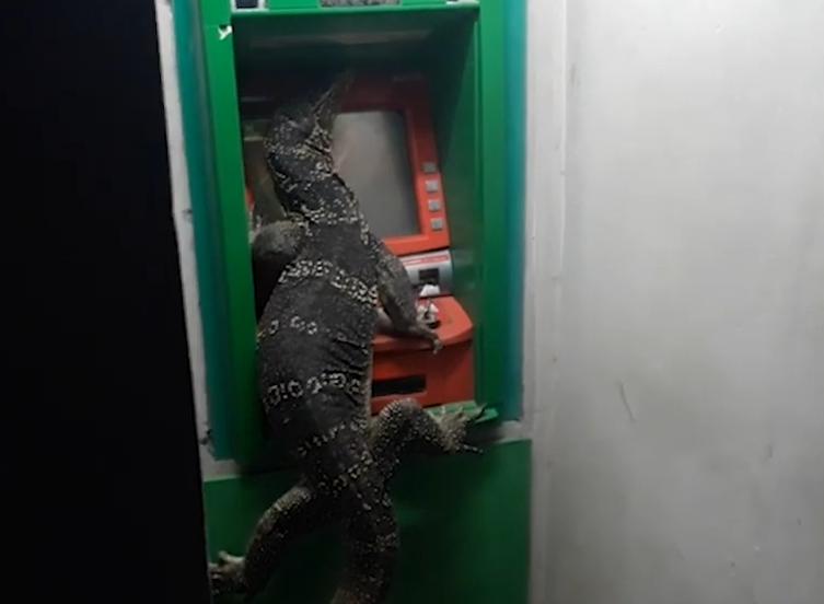 """奇观!泰国大蜥蜴ATM机前""""取钱"""" 还用爪挡着密码键盘"""