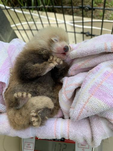 小熊猫幼崽接受称重.(图片来源:美国史密森尼国家动物园)
