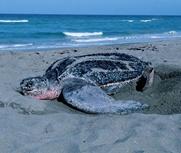 游客挖濒危海龟遭谴责