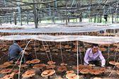安徽旌德:林下經濟助力鄉村振興