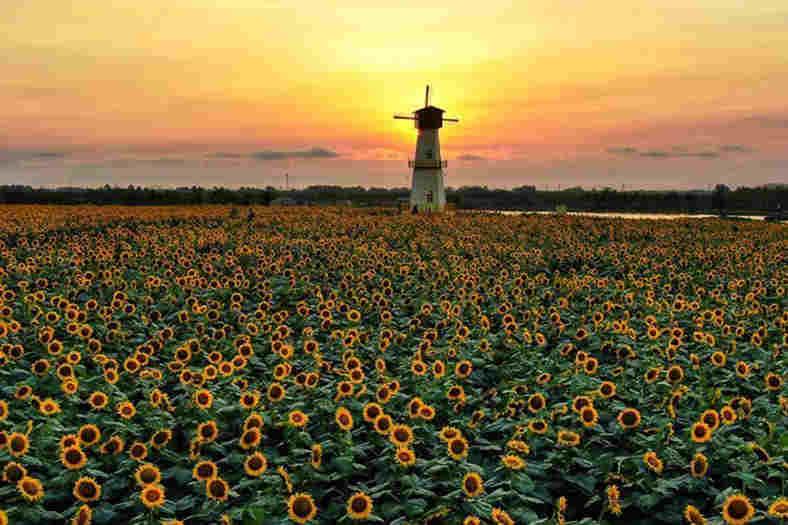 航拍江苏白马湖畔1500亩向日葵