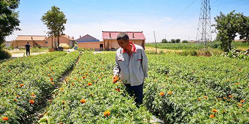 甘肃镇原:特色农业助脱贫,菊花铺就致富路