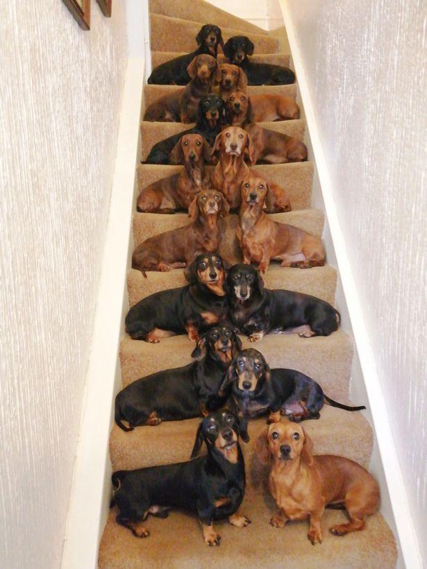 英铲屎官成功让16只腊肠犬坐在楼梯上拍集体照