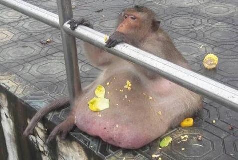 """泰国网红胖猴子疑似死亡 因巨大""""啤酒肚""""爆红"""