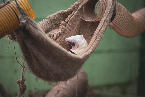 太困了!英國一只小雪貂吊床上打哈欠萌翻了