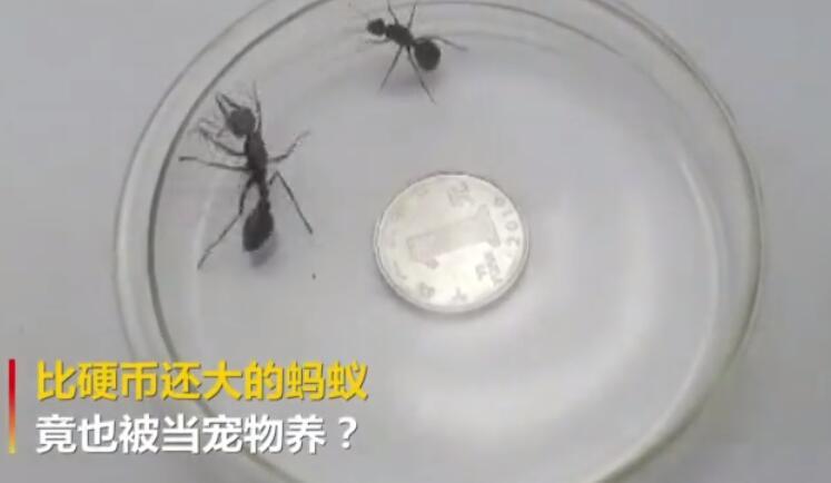 """比硬币还大?海关查获没""""签证""""巨型蚂蚁"""