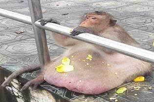 """泰国网红胖猴?#21491;?#20284;死亡 因巨大""""啤?#36139;恰北?#32418;"""
