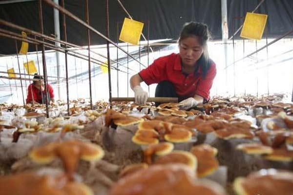 贵州玉屏食用灵芝进入采收旺季