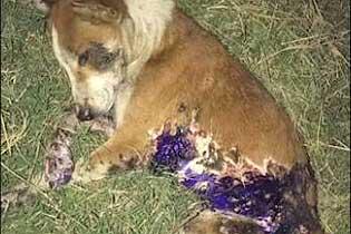 感人!狗狗被瀝青燙傷 獲愛心人士救治