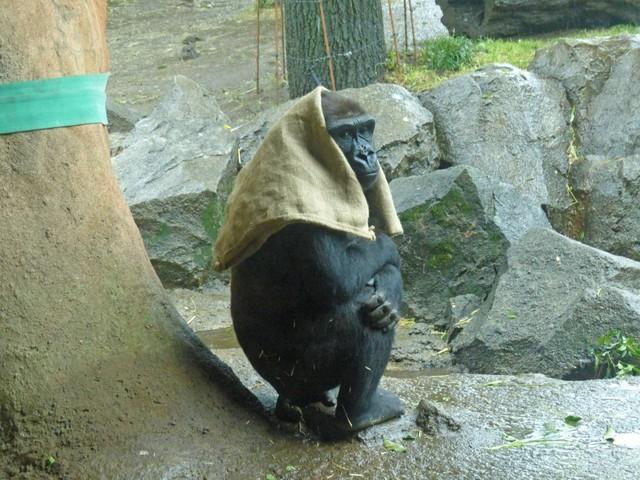 美空影院(一站究竟周唯达)日本40岁母猩猩成网红 一下雨就把麻袋披头上(图)