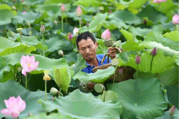 安徽肥西:太空莲种植助力乡村振兴