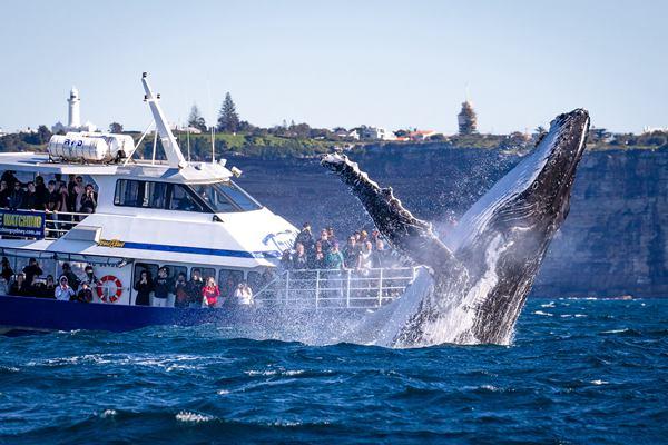 """悉尼港湾30吨座头鲸跃出海面 游客近距离领略""""翻江倒海"""""""