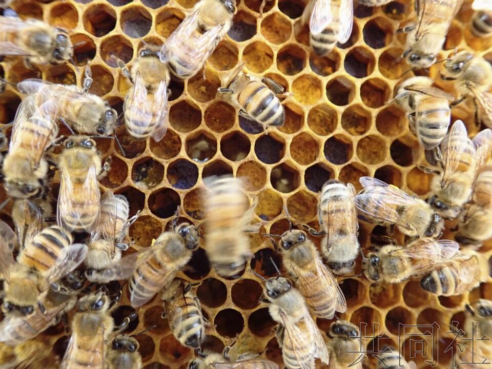 """王爷采花我采草(哈国英)日本农研组织开宣布蜜蜂""""8字舞""""主动解读技能"""