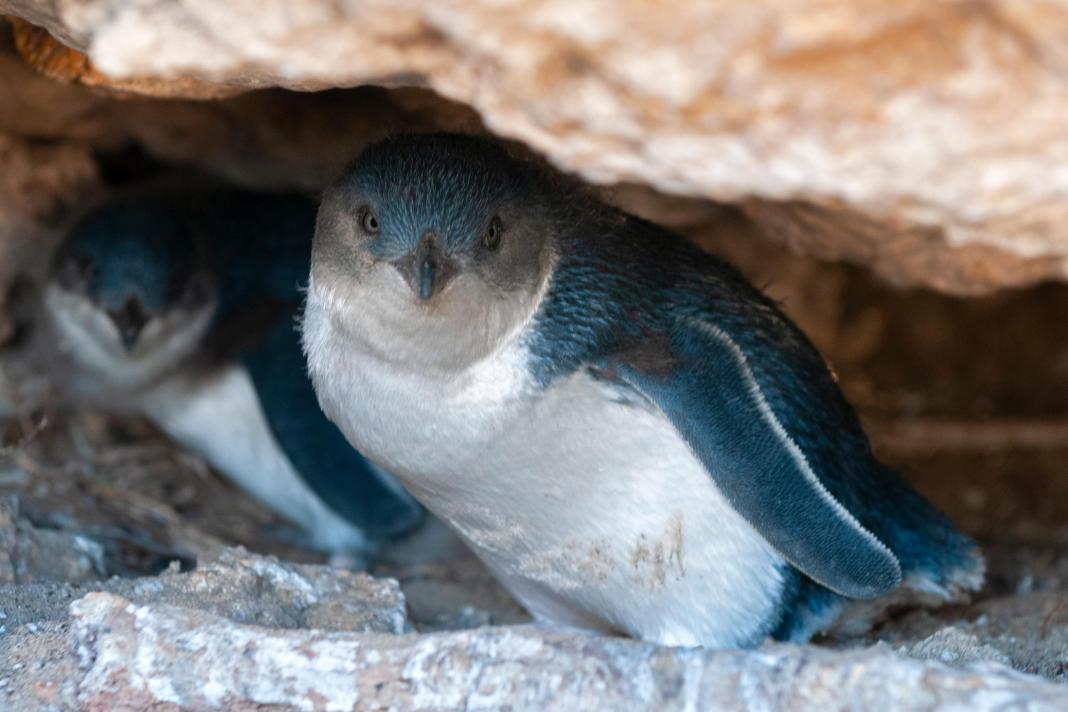 蓝企鹅藏身寿司摊欲筑巢?当地环保部门警告:别靠太