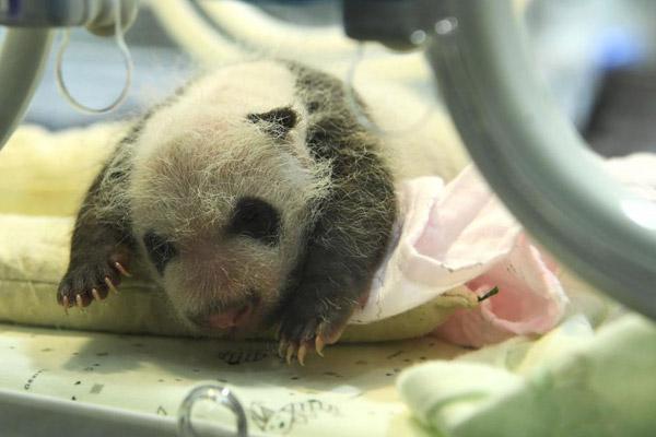 重庆市动物园两只大熊猫同日分别产下双胞胎