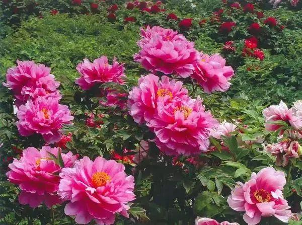 中国国花欲定牡丹!你支持吗?