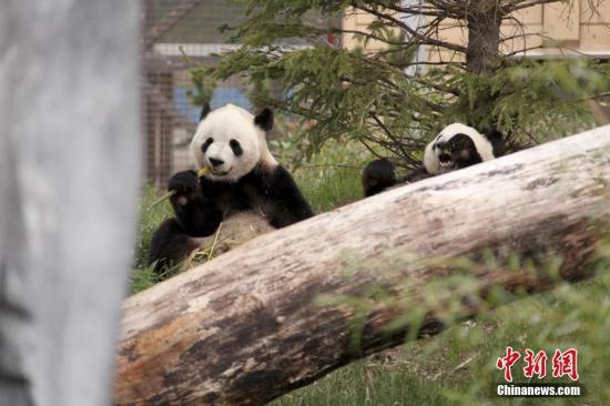 中国旅加大熊猫人工授精逾三月 是否怀孕尚未知