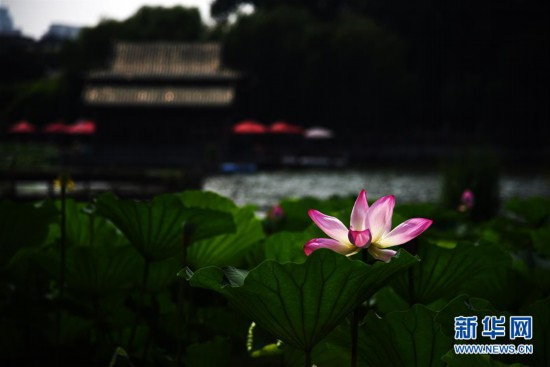 济南大明湖荷花美