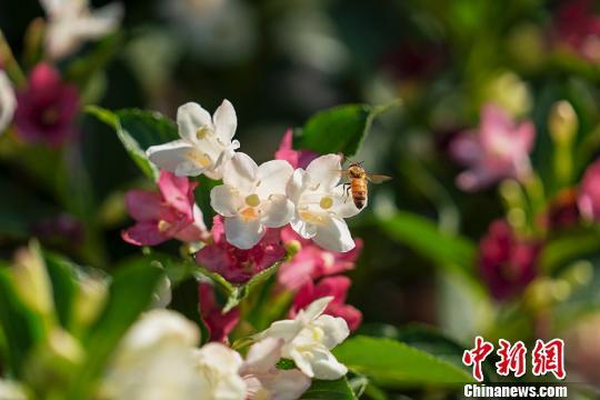 """日本开发新技术 可自动解读蜜蜂交流的""""语言"""""""