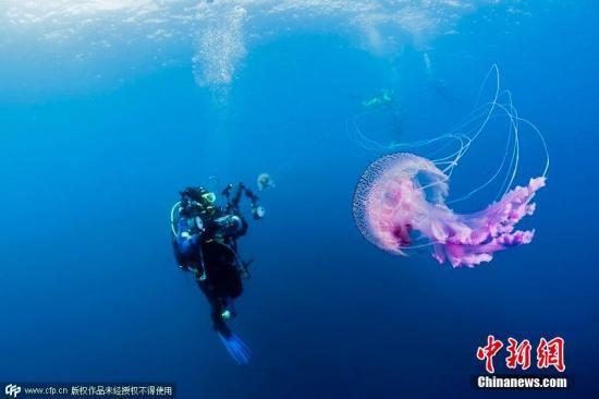 昂达hd6570(丁香鱼 瑞星)英国西南部海域现巨型桶状水母 体长达1.5米