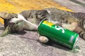 泰国猫咪紧抱饮料瓶睡觉似醉汉 可爱至极