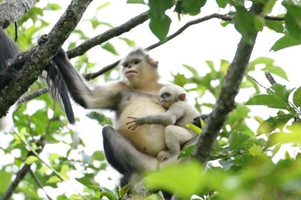 滇金丝猴全境数量稳定增长 总数近3000只左右