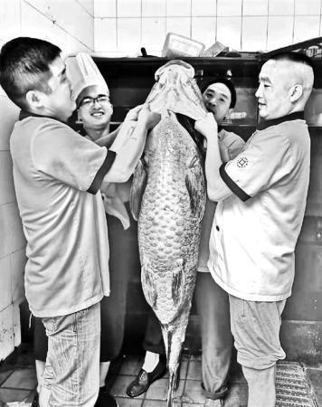 西湖里捕到一条螺蛳青1.6米长 122斤需要3人抬