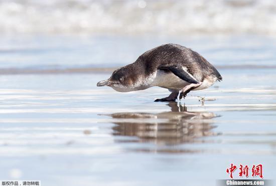 """萌!新西兰企鹅""""安家""""寿司店 被警察带走又逃回"""