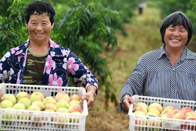 安徽:水蜜桃种植助力乡村振兴