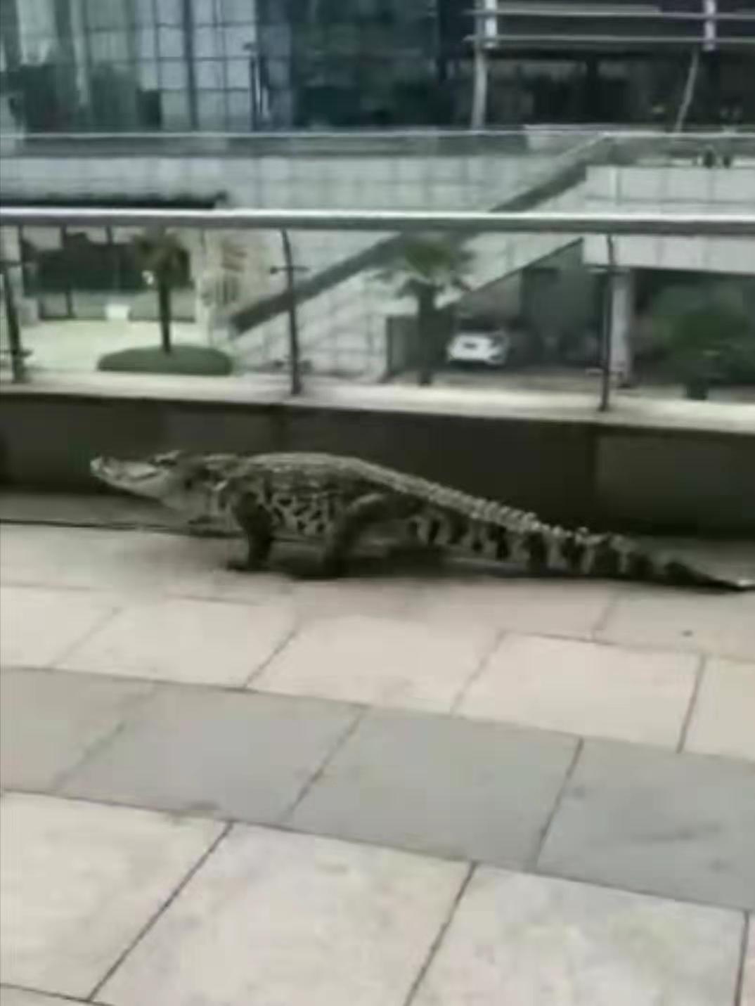 摩杰登录:安徽芜湖因长江涨水有鳄鱼上岸?实为娱乐场所表演鳄鱼