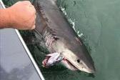 美国渔民在金门大桥附近捕获2.4米长大白鲨