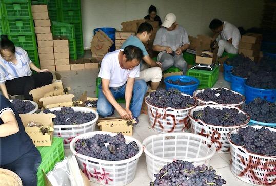 丹鸟进军生鲜物流  千吨葡萄产地直发24小时送全国