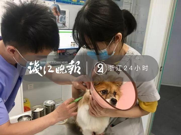 摩杰登陆:杭州推出狗狗芯片植入服务,免费、可与准养犬相伴终身