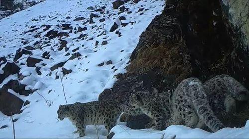科创板3过3(玛莎拉蒂女自闭症)稀有!四川卧龙拍到四只雪豹同框