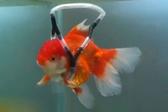 """动物爱好者为患病金鱼制作""""水下轮椅"""""""