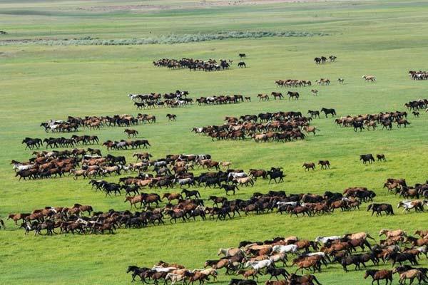 内蒙古:夏日草原 骏马奔腾