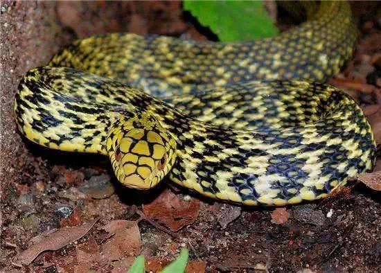 浙江遂昌一老人在打扫院子的时候发现一米多长大蛇