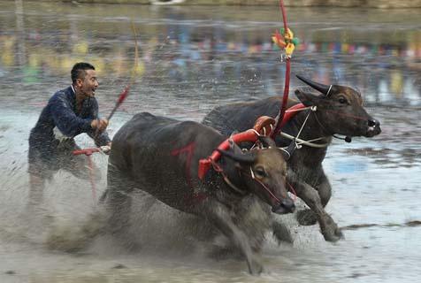 泰国举办传统水牛赛跑 选手驾牛泥地狂奔