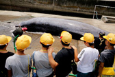 日本千叶县组织小学生现场看鲸鱼解剖