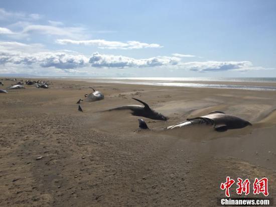 冰岛一海滩发现大量领航鲸尸体,因何搁浅并最终死亡尚未查明