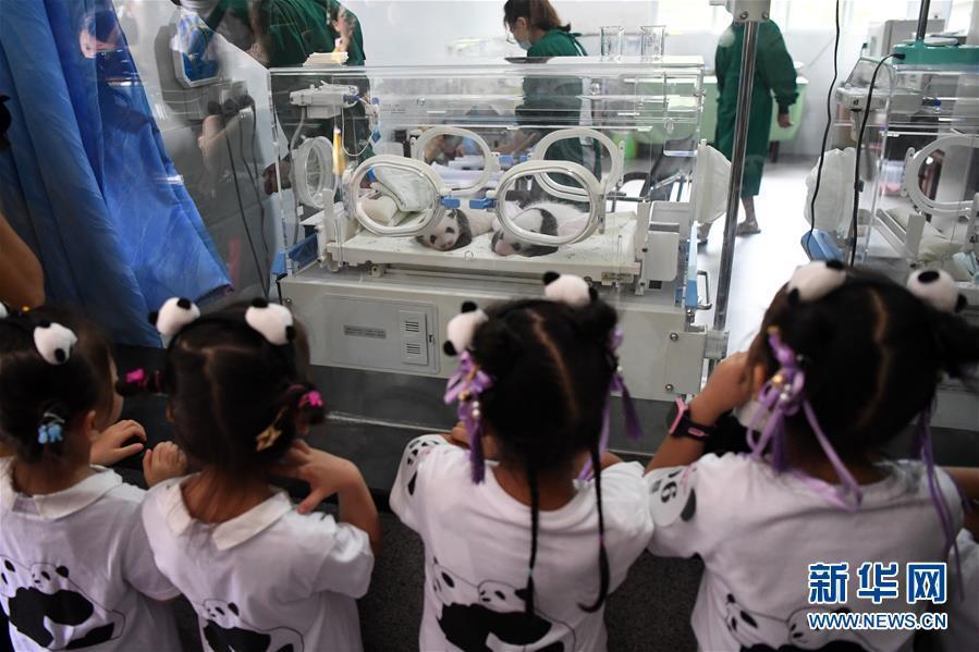 重庆:为两对双胞胎大熊猫宝宝举行满月庆典