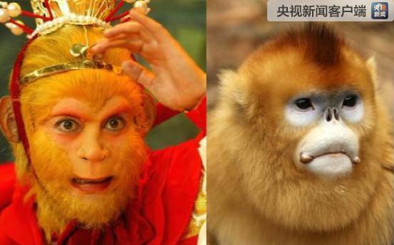 连生6只!秦岭金丝猴繁育创十年