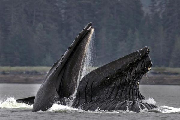 座头鲸自制泡泡网捕食 集体合作捕食场面壮观