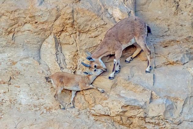 最厉害的攀岩手!母羊为拯救小山羊上演悬崖历险记