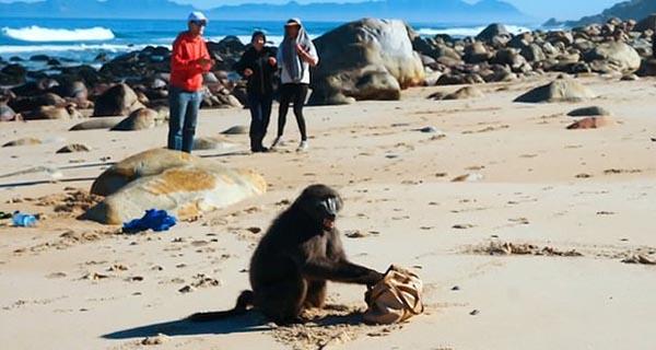 一对游客南非开普敦海边遭狒狒抢劫 女游客包被抢走